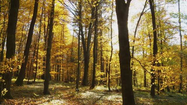 HD: Beautiful Autumn Forest video