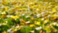 Beautiful Autumn Leaves on lawn - change of focus video