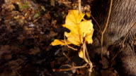 Beautiful autumn leaves video