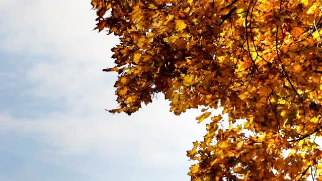 Beautiful autumn orange colors leaves waving in the autumn wind video