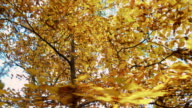 Beautiful autumn trees in the forest video