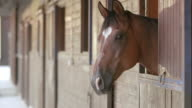 LD Beautiful bay horse looking out of the stable video