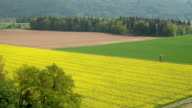 AERIAL: Beautiful big agricultural green wheat and yellow brassica rapa fields video