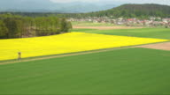 AERIAL: Beautiful big agricultural wheat and turnip rape fields in sunny spring video