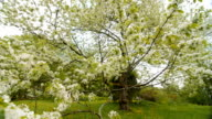 beautiful big tree with white flowers,slow motion video