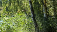 Beautiful birch trees in a summer forest blurred background video