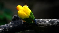 Beautiful bird, Sun Conure bird ,lovebirds video