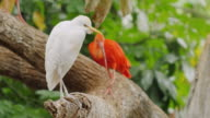 Beautiful birds in the trees - Western Cattle Egret and Scarlet Ibis video