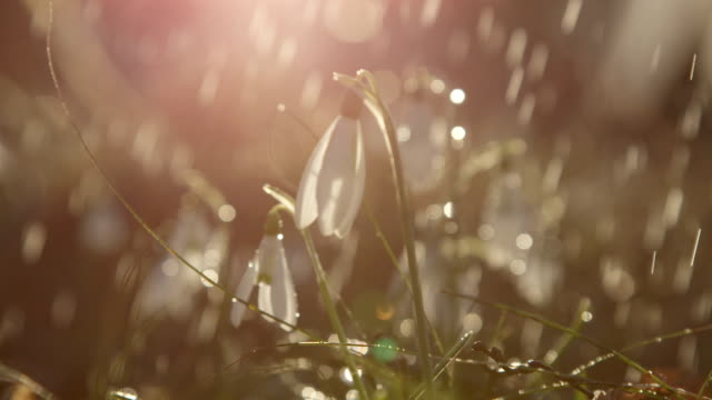 CLOSE UP: Beautiful blooming galanthus spring flowers on sunny rainy morning video