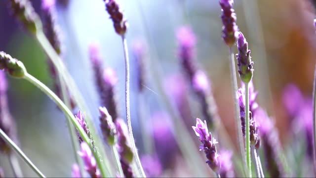 Beautiful Blooming Lavender Flowers Swaying In The Wind video