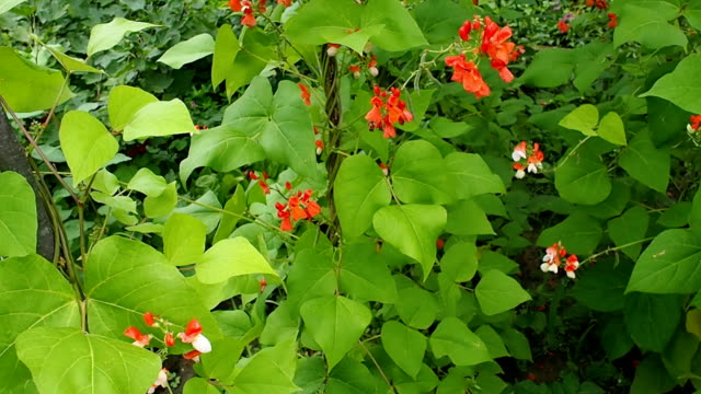 Beautiful blooming plants of kidney bean VIDEO video