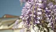 SLOW MOTION CLOSE UP DOF: Beautiful blooming wisteria flowers on front porch video