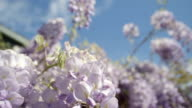 SLOW MOTION CLOSE UP DOF: Beautiful blooming wisteria flowers on house pergola video