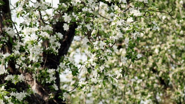 Beautiful Branches of a Blossoming Apple Tree video