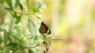 beautiful butterfly absorb some sweet from  flowers video