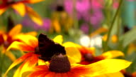 Beautiful butterfly crawling on yellow rudbeckia flower and flying away, super slow motion, 250 fps video