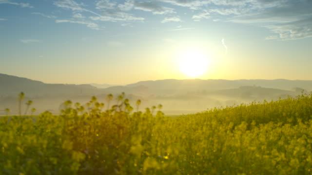 Beautiful canola field at sunrise (4K) video