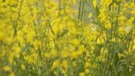 Beautiful Canola Field in HD video