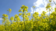 Beautiful Canola Field on a Sunny Day video