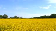 Beautiful Canola Field video