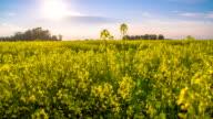 HD DOLLY: Beautiful Canola Field video