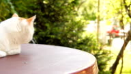 Beautiful cat on the table. video