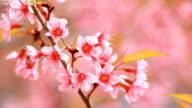 Beautiful cherry blossom flower video