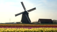 AERIAL: Beautiful colorful blooming tulips in front of old wooden windmill video