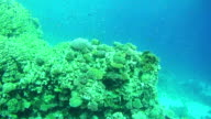 Beautiful Colorful Tropical Fish on Vibrant Coral Reefs Underwater in the Red Sea video
