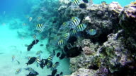 Beautiful Colorful Tropical Fish on Vibrant Coral Reefs Underwater in the Red Sea. Egypt video