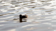 Beautiful Coots on Stowe Pool water natural backgrounds video