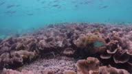 Beautiful Coral reef in Lord Loughbolough or Sea Dragon island, Myanmar video