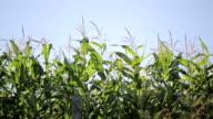 Beautiful corn plants video