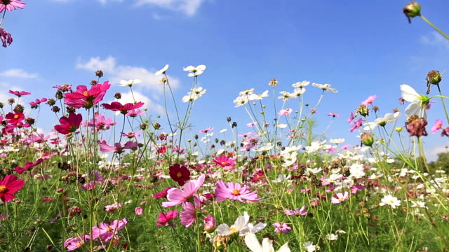 Beautiful cosmos flowers swaying in the breeze with blue sky background video