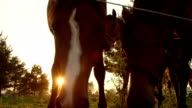 SLOW MOTION, CLOSE UP: Beautiful curious horse family sniffing and observing video