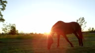 SLOW MOTION: Beautiful dark brown horse pasturing and running on meadow field video