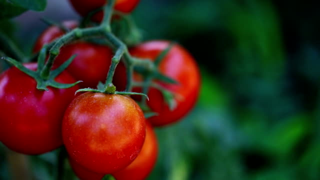 Beautiful & delicious homegrown tomatoes! video