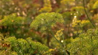 Beautiful dill on a blurred background video