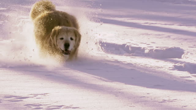 Beautiful dog plays in the snow video
