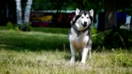 A beautiful dog sitting on the grass, Husky video