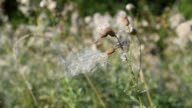Beautiful dry common sowthistle flower with fluff swaying in wind video