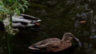 Beautiful Ducks in River Park water natural backgrounds video