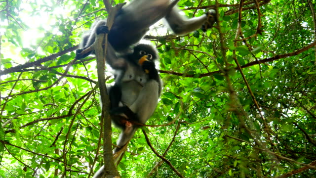 Beautiful Dusky Leaf Monkey Sitting on Tree in Tropical Rainfores video