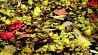 Beautiful fallen flowers and leaves floating on green water video