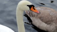 Beautiful Family of Swans and Cygnets with Ducks in River video
