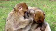 Beautiful Family of Young Monkeys Groom and Play - Barbary Macaques  of Algeria & Morocco video