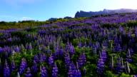 Beautiful Field of Lupin Wildflowers. video