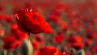 Beautiful Field Poppy Swaying On Breeze video