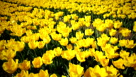 Beautiful flower bed of yellow tulips video