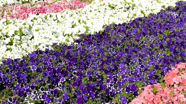Beautiful flowerbed with petunia flowers video